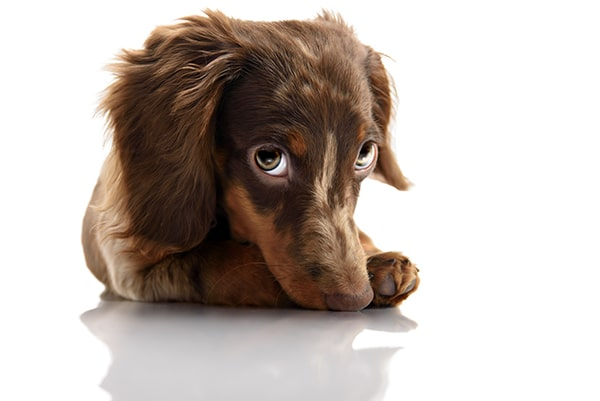 little cute brown spotted dachshund