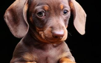 cutest dachshund names