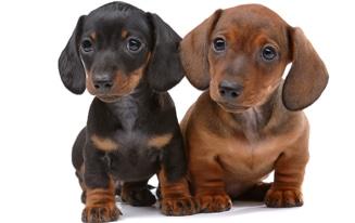 unique dachshund names