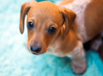Best Carpet Cleaner for Dachshunds