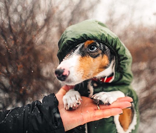 dachshund coats