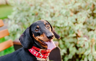 keep your dachshund healthy