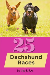 dachshund races
