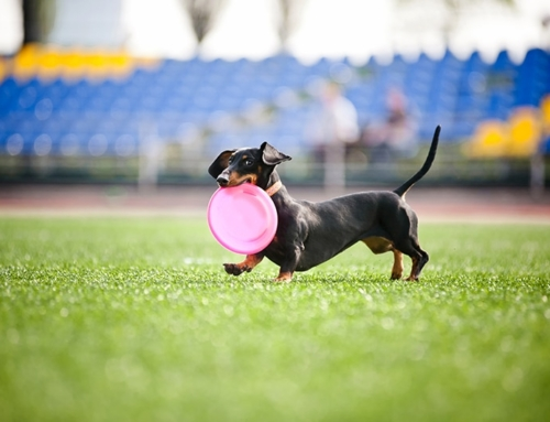 Dachshund Races in the USA | Northeast & Midwest