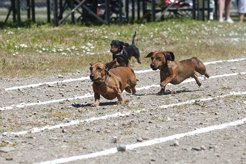 Small Dachshunds race with each other at the Rathdrum days in Rathdrum, Idaho.
