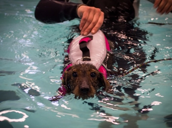 therapy for dachshunds with ivdd