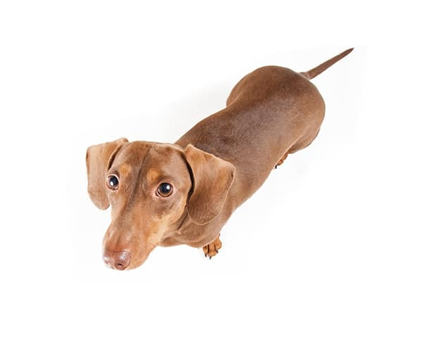 How to Avoid IVDD in Dachshunds
