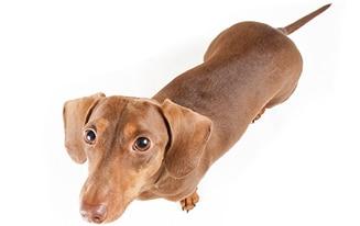 dachshund ivdd