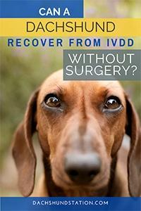 ivdd therapy dachshund