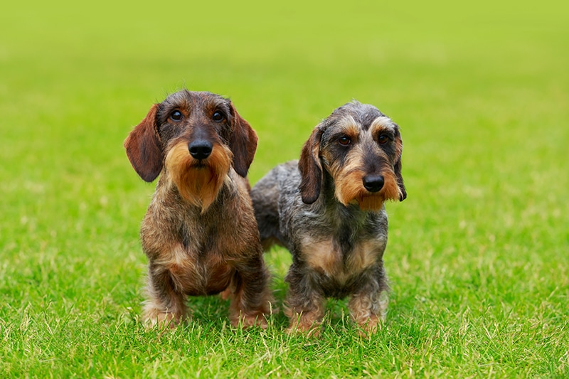 Socialize Your Dachshund Puppy
