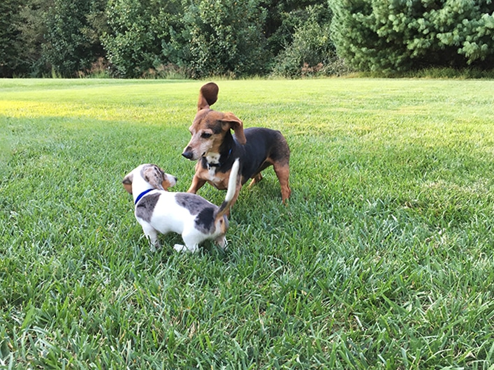 Introduce A New Puppy To An Older Dog