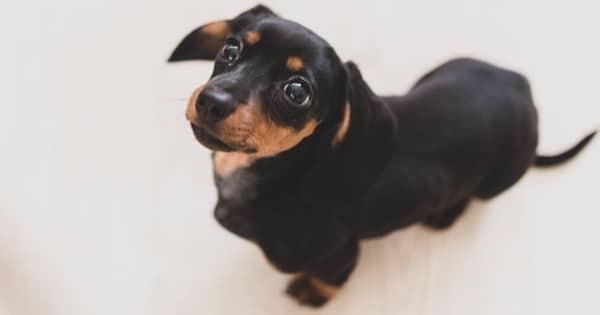 potty training your dachshund