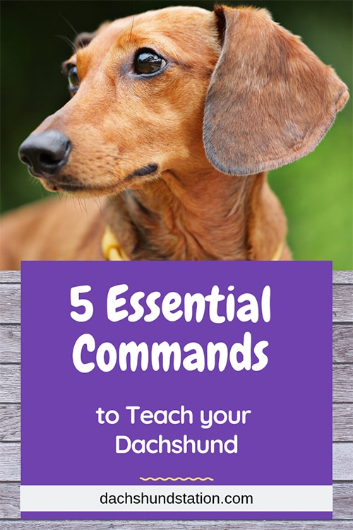 commands to teach your dachshund
