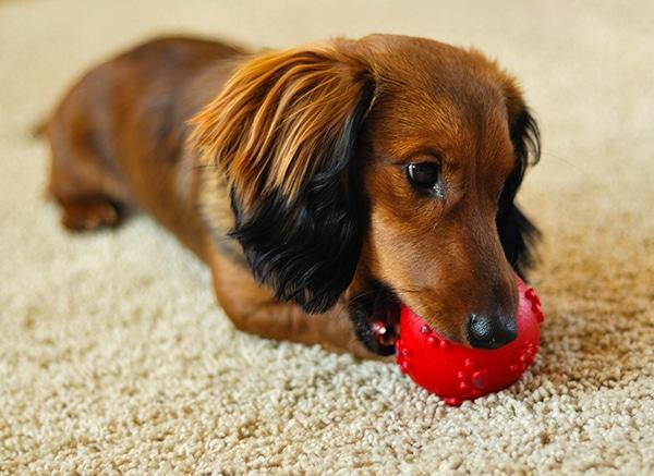 dachshund puppy teething