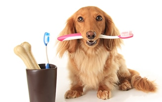 Ways To Brush Your Dachshund's Teeth