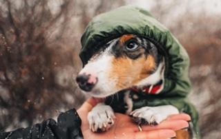 dachshund winter