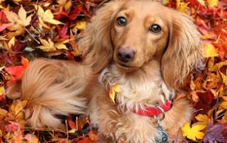 fall festival dachshund