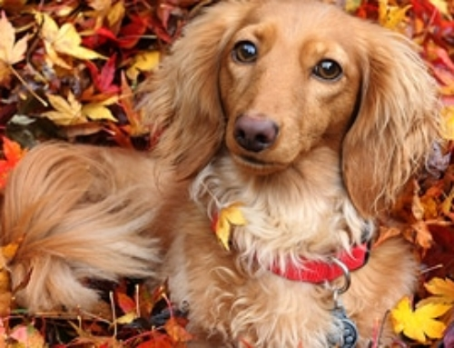 Fall DactoberFest for Dachshunds