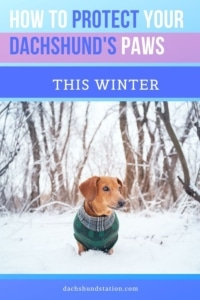 protect your dachshund's paws this winter