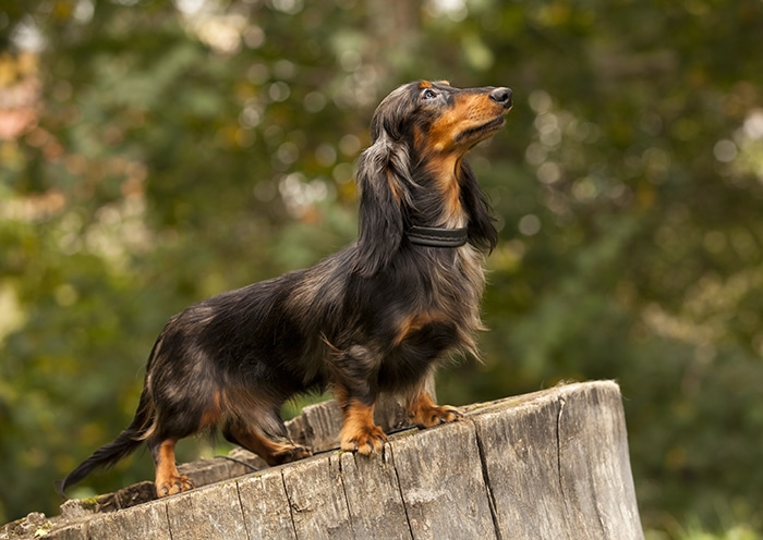 Reasons Why Dachshunds Bark All The Time