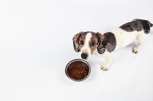 dachshund skin issues