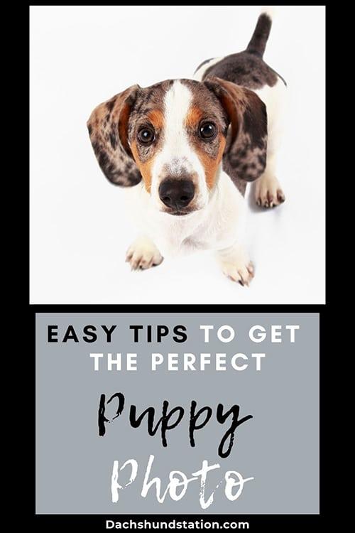dachshund puppy valentine photos
