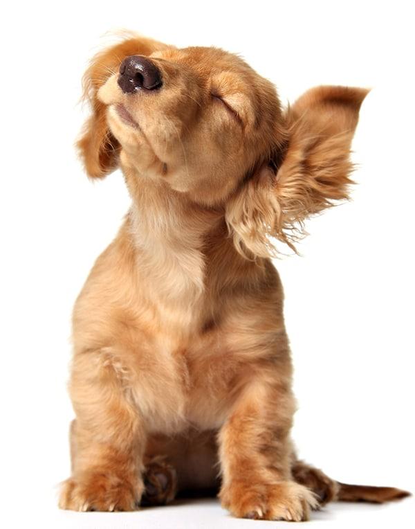 why do dachshunds shake their head