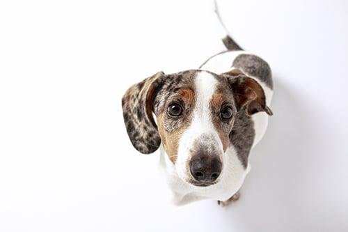 Cute Little dachshund