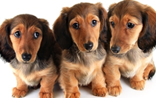 dachshund training guide