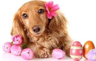 Easter Dachshund