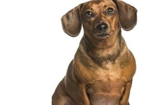 fat dachshund