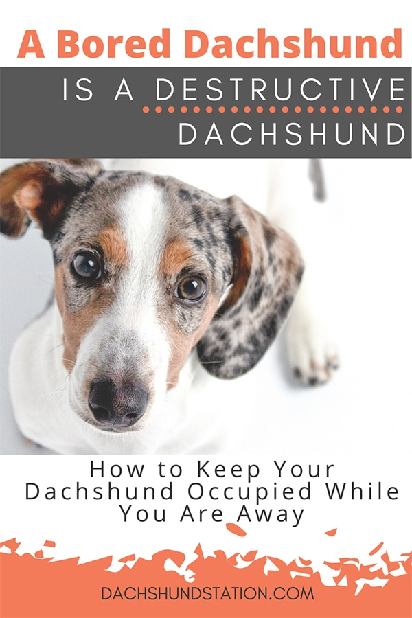 7 Signs Your Dachshund is Bored (How to Stop It)