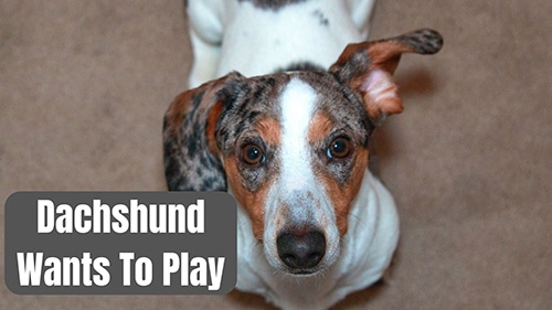 Signs Your Dachshund is Bored (How to Stop It!)
