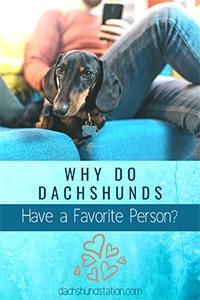 dachshund choose favorite person