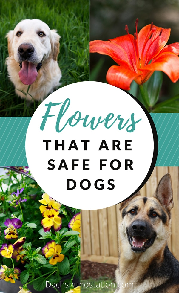 10 Colorful Flowers You CAN Plant in A DOG-SAFE Garden