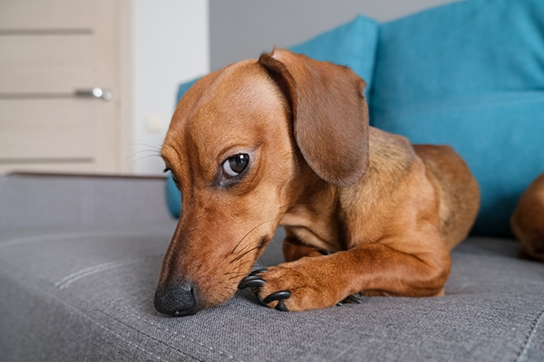 Keep A Dachshund Happy In A Small Apartment
