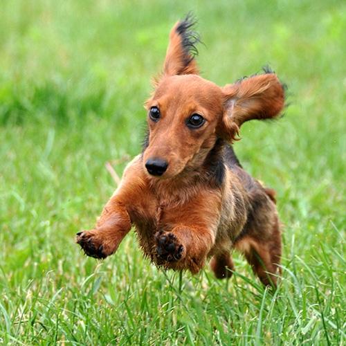 running dachshund
