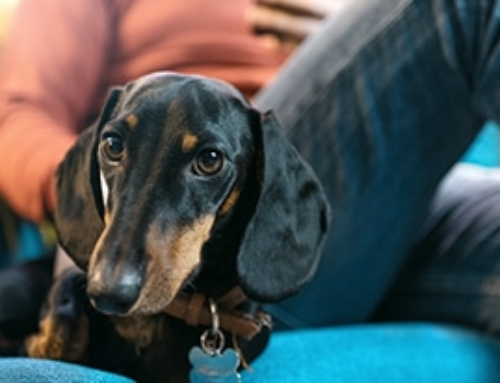 How Do Dachshunds Choose Their Favorite Person?