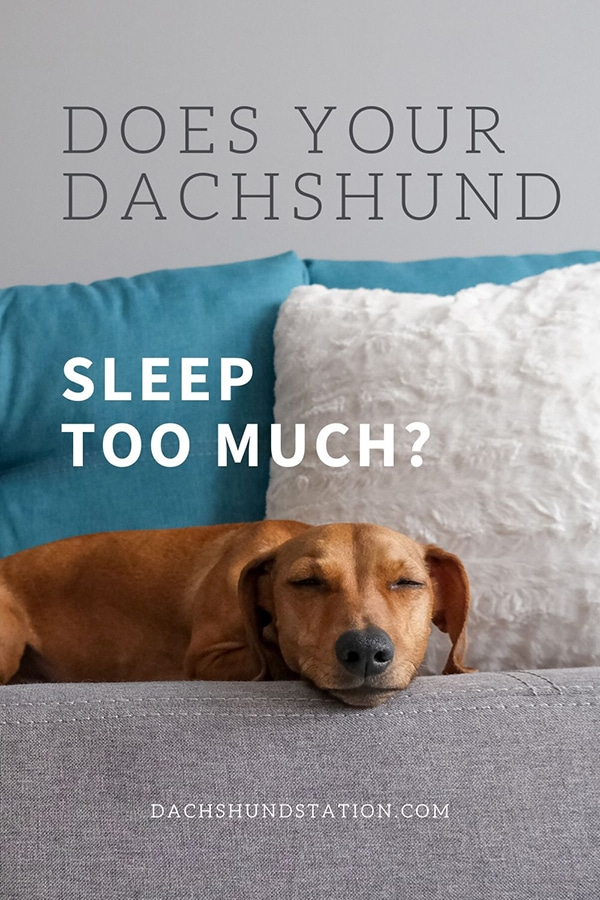 10 Real Reasons Why Dachshunds Sleep So Much