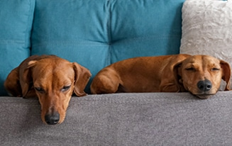 sleepy dachshunds