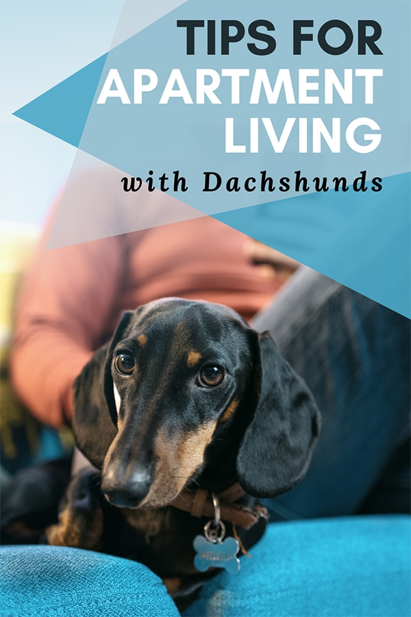 5 Ways To Keep A Dachshund Happy In A Small Apartment