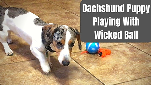 wicked ball dog toy