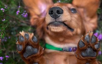 dachshund dog paw