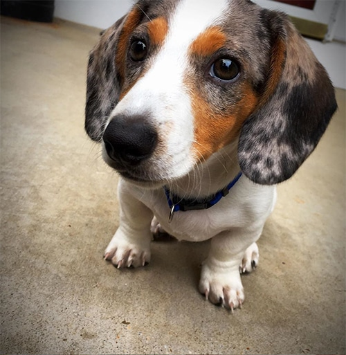 Avoid Dog Paw Burn This Summer: Protect Your Dachshund's Feet