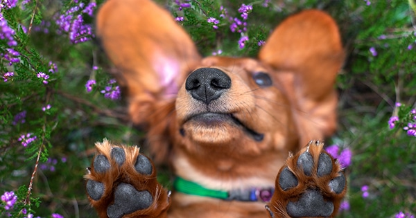 Protect Your Dachshund's Paws