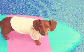 dachshund dog summer