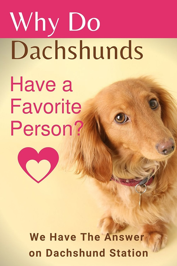 Why Do Dachshunds Have A Favorite Person?