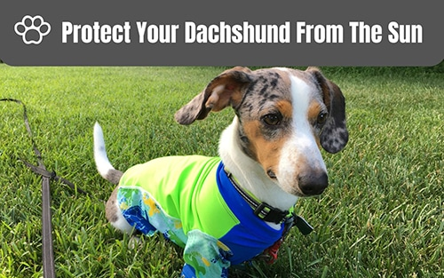 Protect Your Dachshund From The Sun