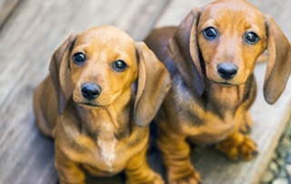 dachshund puppy essentials
