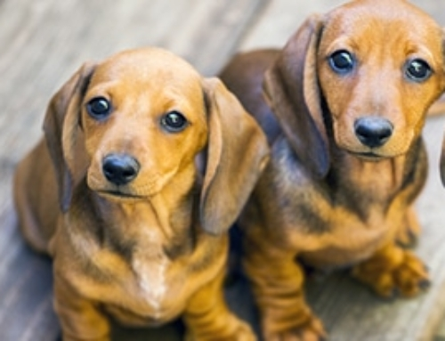 Ultimate List Of Dachshund Puppy Essentials For 2020